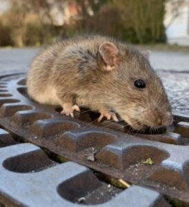 Ratto di fogna